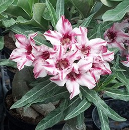 Striped Desert Rose