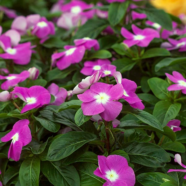 Vinca Flower By Costa Farms