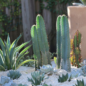 Cereus in Garden