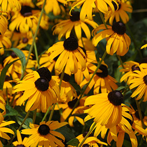 Perennial Flowers Bloom Guide Costa Farms