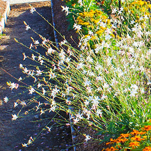 Light Full Sun Water Tolerates Drought Zones 5 8 Easy To Grow Flowers Profusely Perfect Partner Gaura