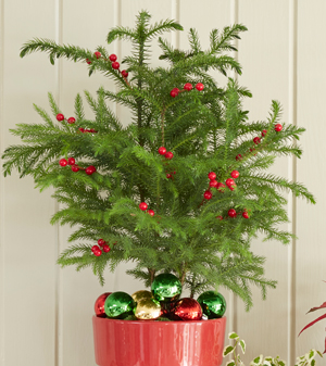 And After The Holidays Are Over You Just Remove Your Ornaments Lights Voila Have An Easy Care Houseplant Can Enjoy Year Round